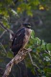 Aquila crestata del serpente su un ramo Fotografia Stock Libera da Diritti