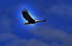 Aquila d'Alasca Fotografia Stock