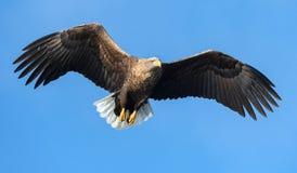 Aquila dalla coda bianca adulta in volo Front View Priorità bassa del cielo blu  immagine stock