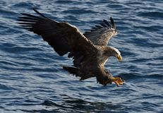 Aquila dalla coda bianca in volo, pescando Immagine Stock Libera da Diritti
