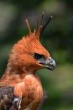 Aquila del falco di Javan Fotografia Stock Libera da Diritti