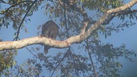 Aquila del ` s della barella nell'isola di Halmahera, Indonesia video d archivio