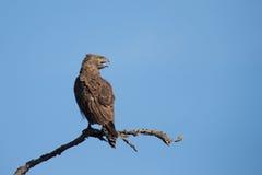 Aquila del serpente di Brown che si siede su un ramo contro con il giallo feroce Immagini Stock Libere da Diritti