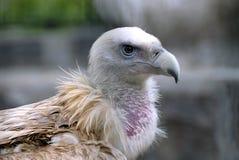 aquila dell'avvoltoio Fotografia Stock