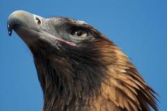 Aquila della coda del cuneo Fotografie Stock