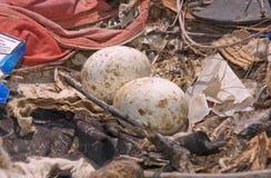 Aquila della steppa del nido Fotografie Stock Libere da Diritti