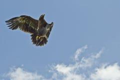 Aquila della steppa durante il volo Fotografia Stock Libera da Diritti