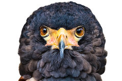 Aquila di Bateleur Immagine Stock Libera da Diritti