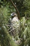 Aquila di Bonellis (fasciatus di hieraaetus) Immagine Stock Libera da Diritti
