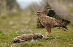 Aquila di Buzzard con un coniglio e una macchina fotografica Fotografia Stock