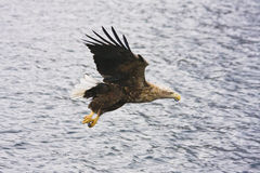 Aquila di mare Fotografie Stock