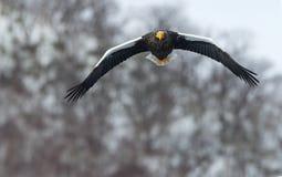 Aquila di mare adulta del ` s di Steller in volo Fondo della montagna di inverno immagine stock libera da diritti