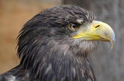 Aquila di mare (albicilla del Haliaeetus) Fotografie Stock