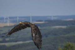 Aquila di mare (albicilla del Haliaeetus) Immagini Stock Libere da Diritti