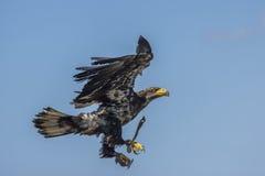 Aquila di mare (albicilla del Haliaeetus) Immagini Stock