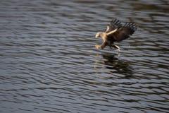 Aquila di mare che pesca un pesce immagini stock libere da diritti