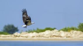 Aquila di mare dal ventre bianco in Kalpitiya, Sri Lanka Immagine Stock Libera da Diritti