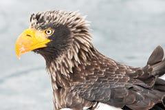 Aquila di mare dello Steller Fotografie Stock Libere da Diritti