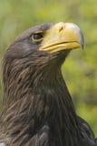 Aquila di mare dello Steller Fotografia Stock