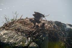 Aquila di mare di Steller Fotografia Stock Libera da Diritti