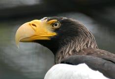 Aquila di mare di Steller Fotografia Stock