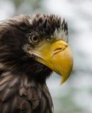 Aquila di mare di Steller Fotografie Stock Libere da Diritti