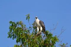 Aquila di mare gonfiata bianco in Kakadu Immagine Stock