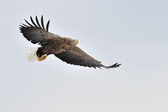 Aquila di mare munita bianco. Fotografia Stock