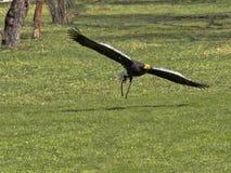aquila di mare di Steller Falco-guida, pelagicus del Haliaeetus, in volo fotografie stock