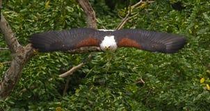 Aquila di pesci africana sull'attacco immagini stock