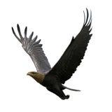 Aquila di volo Immagini Stock Libere da Diritti