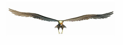 Aquila di volo Fotografia Stock