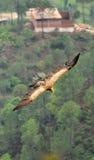 Aquila di volo immagine stock