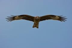 Aquila di volo (percorso di residuo della potatura meccanica di w) Fotografie Stock