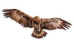Aquila di volo su bianco fotografia stock libera da diritti