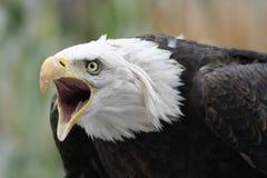Aquila difensiva Fotografia Stock Libera da Diritti