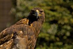 Aquila dorata fotografie stock libere da diritti