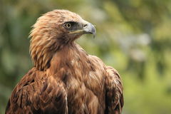Aquila dorata Immagine Stock Libera da Diritti