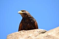Aquila dorata fotografie stock