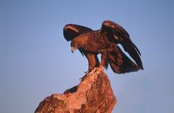 Aquila dorata Immagini Stock Libere da Diritti