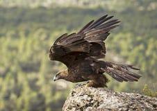 Aquila dorata Fotografia Stock Libera da Diritti
