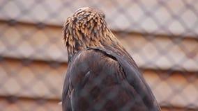 Aquila dorata video d archivio