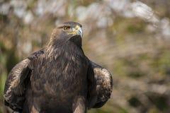 Aquila dorata (chrysaetos di aquila) Fotografie Stock Libere da Diritti