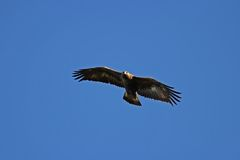 Aquila dorata - chrysaetos di Aquila immagine stock libera da diritti