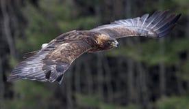 Aquila dorata durante il volo Immagine Stock
