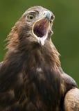 Aquila dorata - Scozia Immagine Stock Libera da Diritti