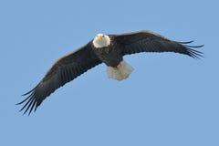 Aquila durante il volo Fotografie Stock