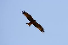 Aquila durante il volo immagine stock