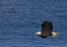 Aquila durante il volo 3 Fotografie Stock Libere da Diritti