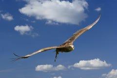 Aquila durante il volo Fotografia Stock Libera da Diritti